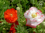 Rosenrot und Schneeweißchen