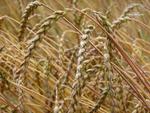 Unser Getreidebau