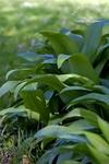 Pflanze mit Heilkraft