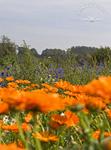 Ringelblumen - & Kornblumenwunder