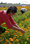 Sorgfältige Blütenernte