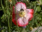 Pollenschmaus