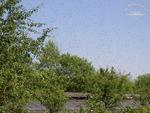 Bienenschwärmen